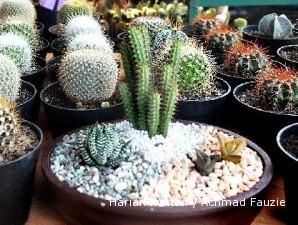 Kaktus Mini Yang Menebarkan Untung 1