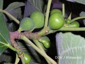 Budidaya pohon ara si pohon kehidupan (1)