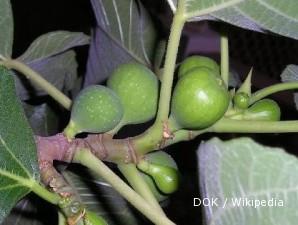 Budidaya pohon ara yang ringan perawatannya (2)