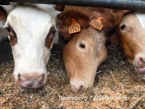 Harga sapi impor terus menggila