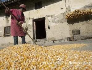 Stok jagung dunia menipis, harga jagung domestik bisa capai Rp 3.800 per kg
