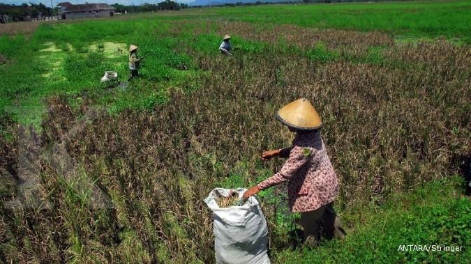 Hama wereng bikin produksi padi anjlok