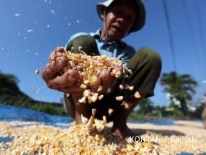 Harga jagung lokal turun saat harga jagung dunia tinggi