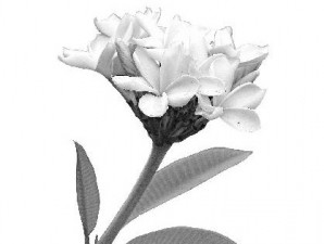 Nilai tinggi dari wangi bunga kamboja kuburan