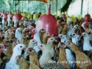 Ayam arab gemar bertelur jika pakan berkecukupan (2)