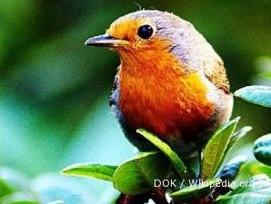 Burung robin: Irit bertelur, populasinya semakin dedikit (1)
