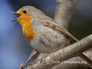 Harga burung robin terbang tinggi lantaran pasokan seret (2)
