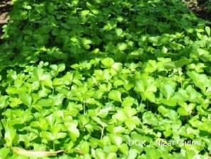 Ashitaba  tanaman obat asal Jepang untuk penangkal kanker (1)