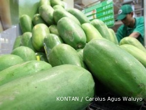 Pepaya calina: Banyak dan besar buahnya, mudah pula perawatannya (2)