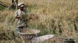 Harga gabah di tingkat petani terus meluncur