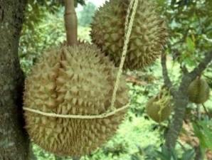 Durian montong oranye: Dagingnya legit, pohonnya tahan hama (1)