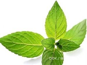 Daun mint di dataran tinggi daunnya lebih lebar (2)