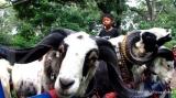 Ke Istana Bogor yuk, ada kontes domba garut