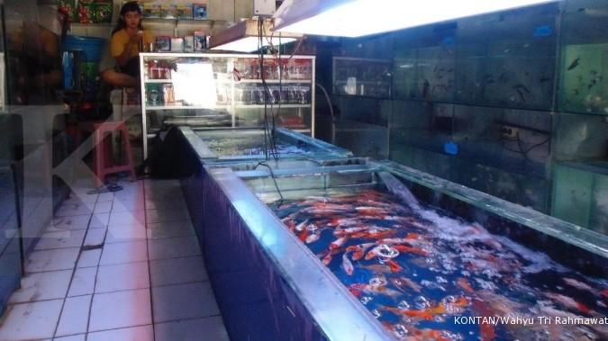 Menilik ikan hias yang bisa berkembang biak
