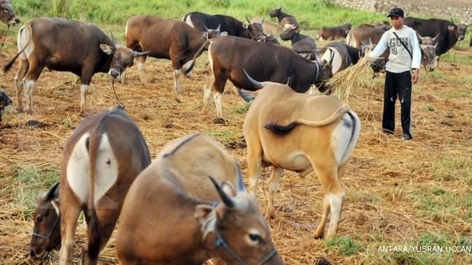 Pengusaha RPH tertekan lonjakan harga daging sapi