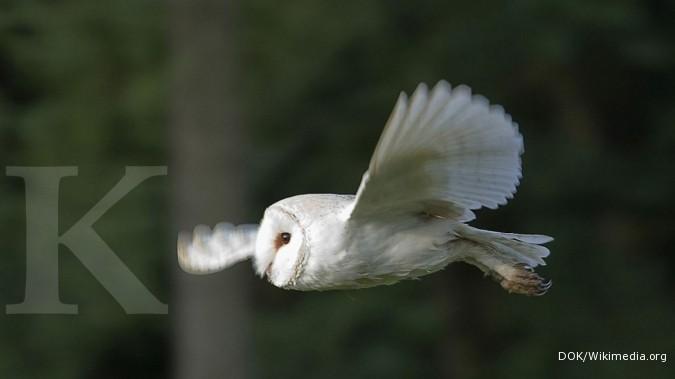 Kandang Burung Hantu Tyto Alba Tentang Kolam Kandang Ternak