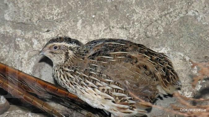 Burung Puyuh: Perlu pakan perangsang bertelur (2)