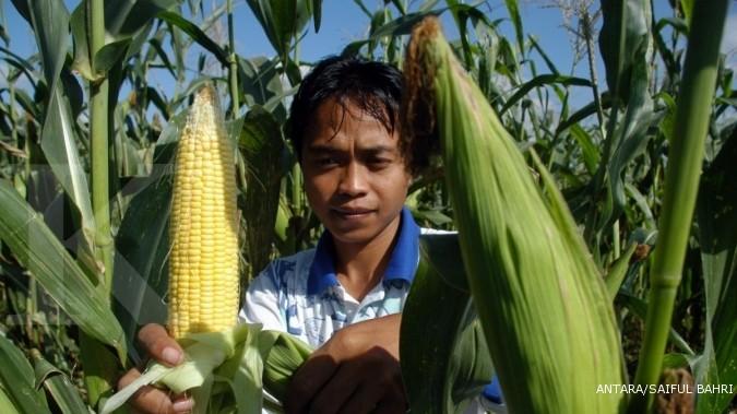 Gulma dan semut musuh utama jagung bonanza (2)