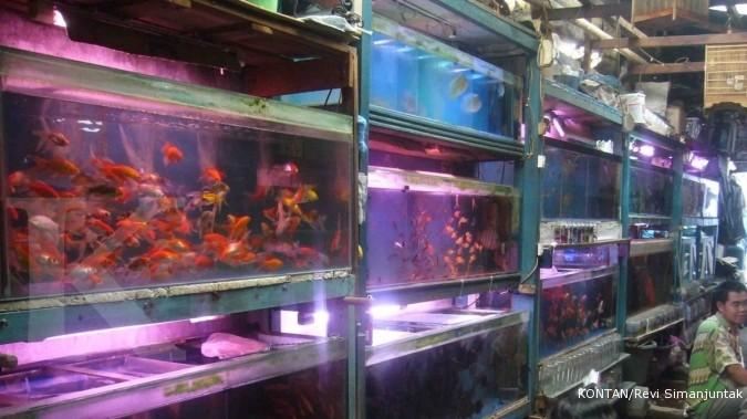 Peluang Ekspor Ikan Hias Masih Memikat