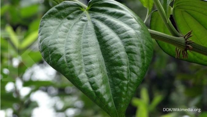 Manfaat Daun Sirih Sebagai Obat Herbal Yang Harus Anda Ketahui