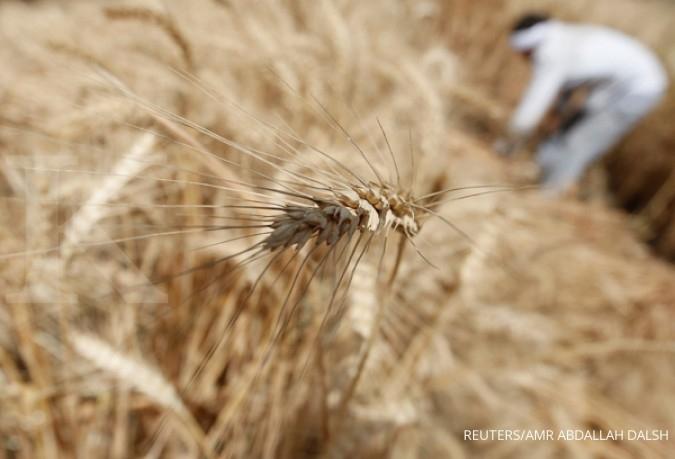Jagung dilarang, impor gandum melonjak