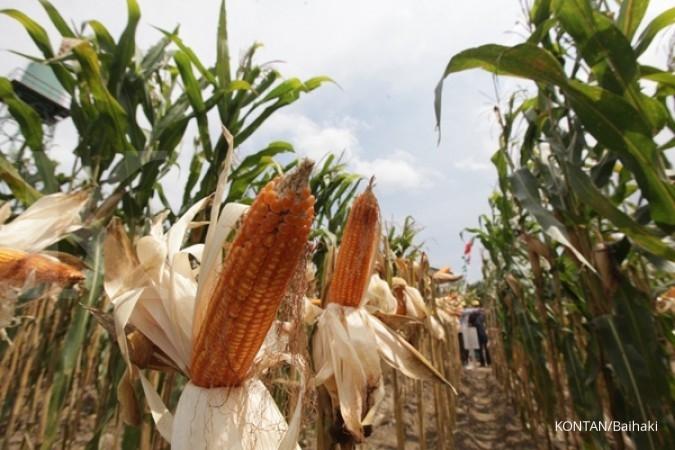 Monsanto berambisi hasilkan benih jagung biotek