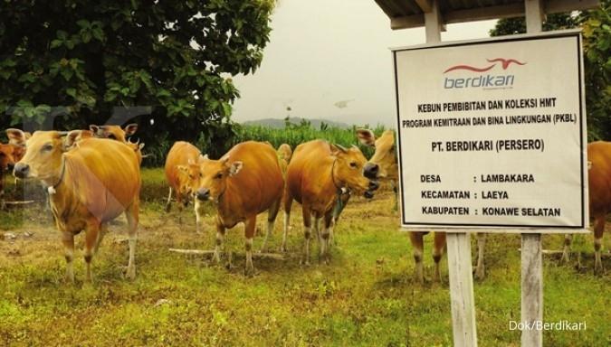 Berdikari menahan penjualan sapi tahun ini