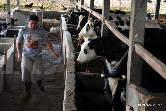 Usaha pembibitan sapi perah kurang diminati