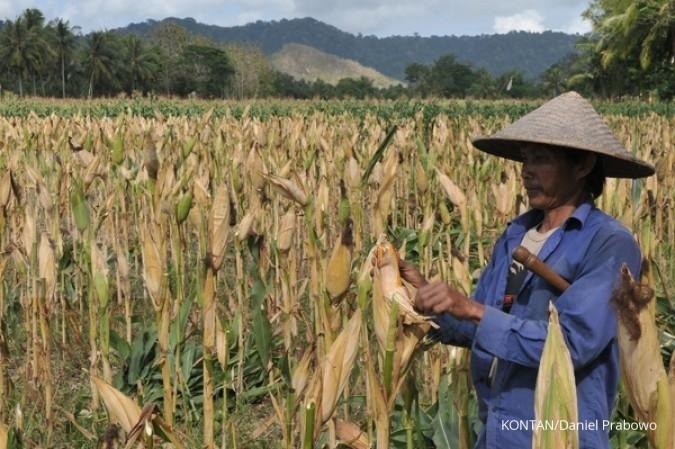 Sejuta hektar jagung di tengah kebun sawit