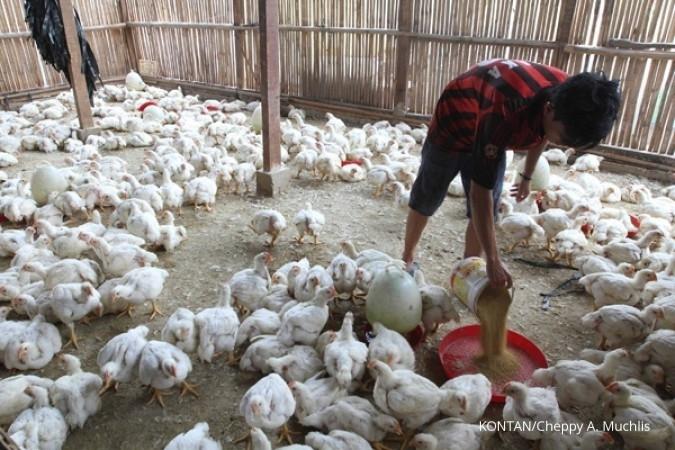 Pasokan melimpah, harga ayam peternak jatuh lagi