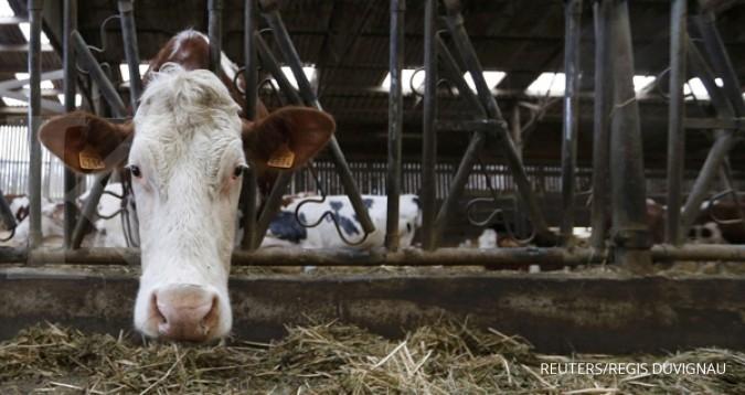 Skema impor sapi indukan kemitraan belum jalan