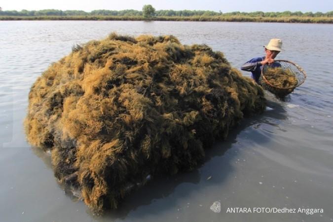 Rumput laut Jadi tumpuan rezeki warga Rote (1)