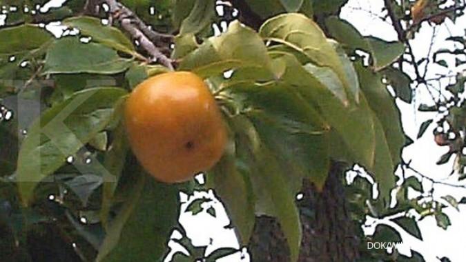 Ini manfaat konsumsi buah kesemek untuk kesehatan