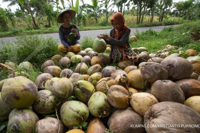 Produksi kelapa sejak 2011 terus menurun