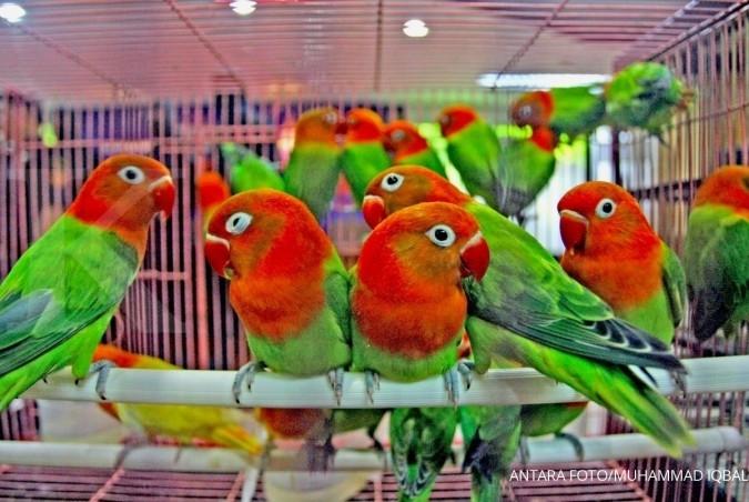 Citaten Love Bird : Apik bulunya tebal cuan beternak love bird biola
