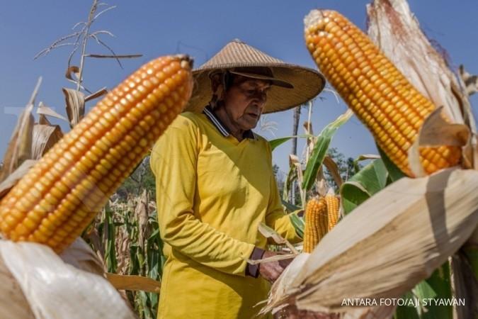 GPMT: Impor feed wheat bukan pengganti jagung