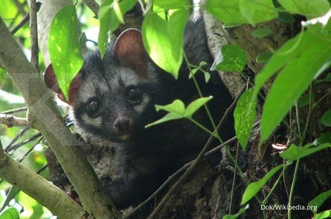 Menangkap untung primadona baru: Musang Pandan