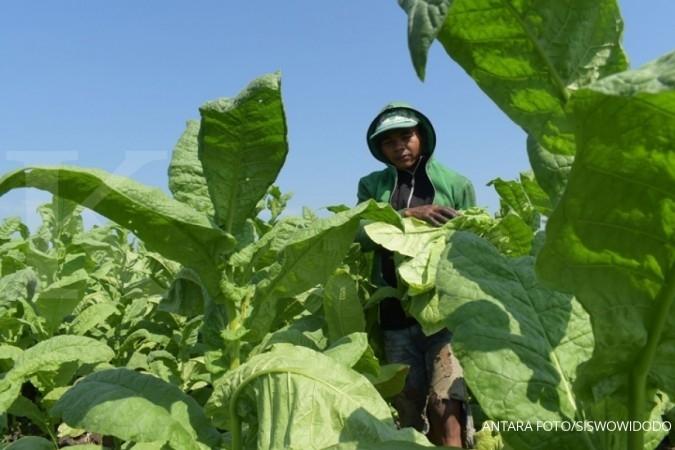 Tembakau tembus Rp 75.000/kg di Temanggung