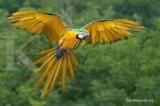 Cantik & pintar, Burung Macaw jadi incaran