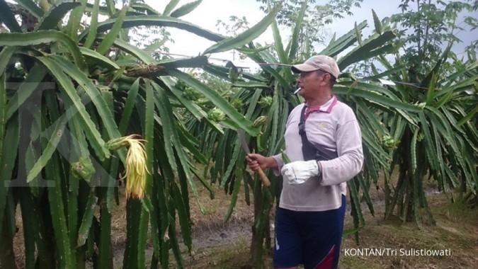 Dari jeruk, petani beralih ke buah naga (1)