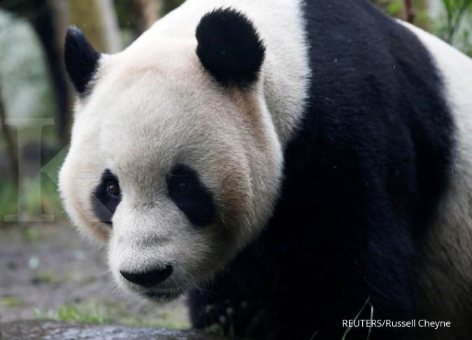 Jokowi-Xi Jinping akan meresmikan panda raksasa