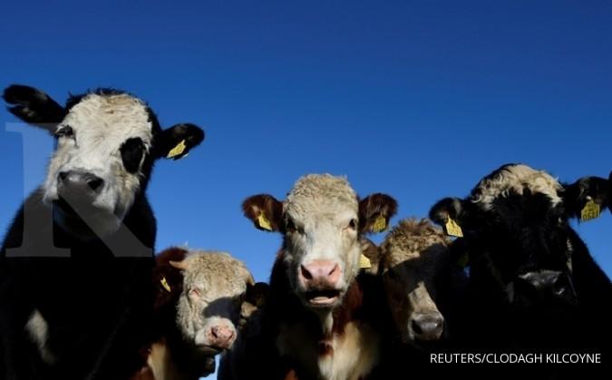 Pemerintah sudah buka kran impor daging sapi 36.000 ton