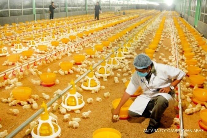 Harga DOC Meningkat Biaya Produksi Ayam Broiler Ikut Melompat