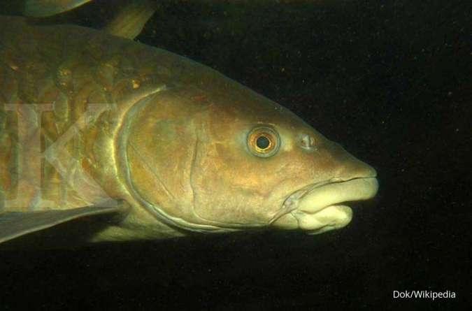 Untung dahsyat dari budidaya ikan dewa (bagian 2)