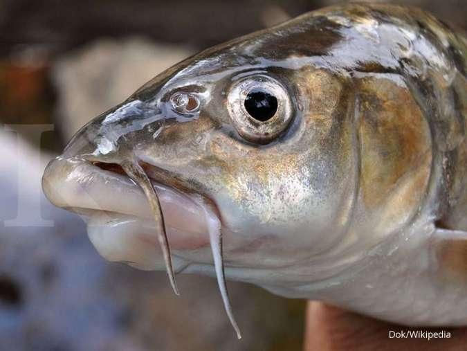 Untung dahsyat dari budidaya ikan dewa (bagian 1)