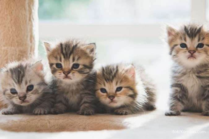 Manfaat memelihara kucing bagi kesehatan, sehat bagi jantung, otak, dll
