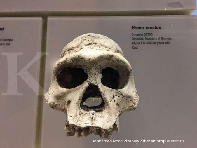 Mengenal Pithecanthropus erectus, sejarah dan ciri-cirinya