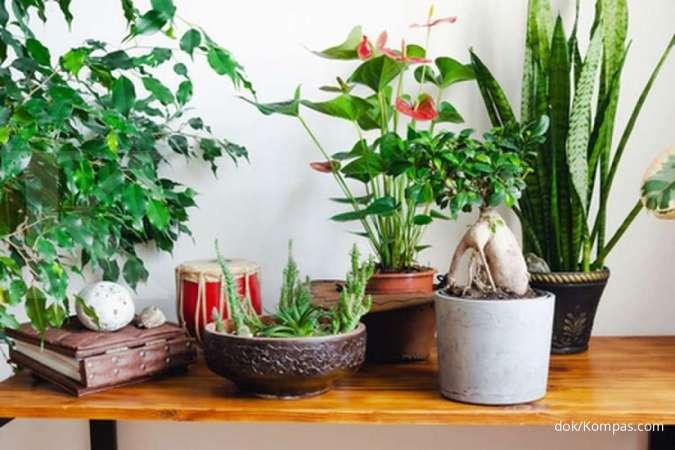 Ini tanaman hias yang cocok diletakkan di dalam ruangan