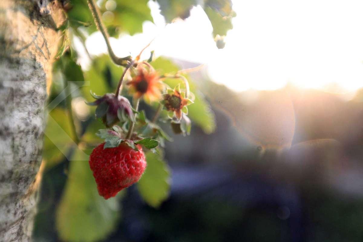 Panen buah stroberi di Lembang