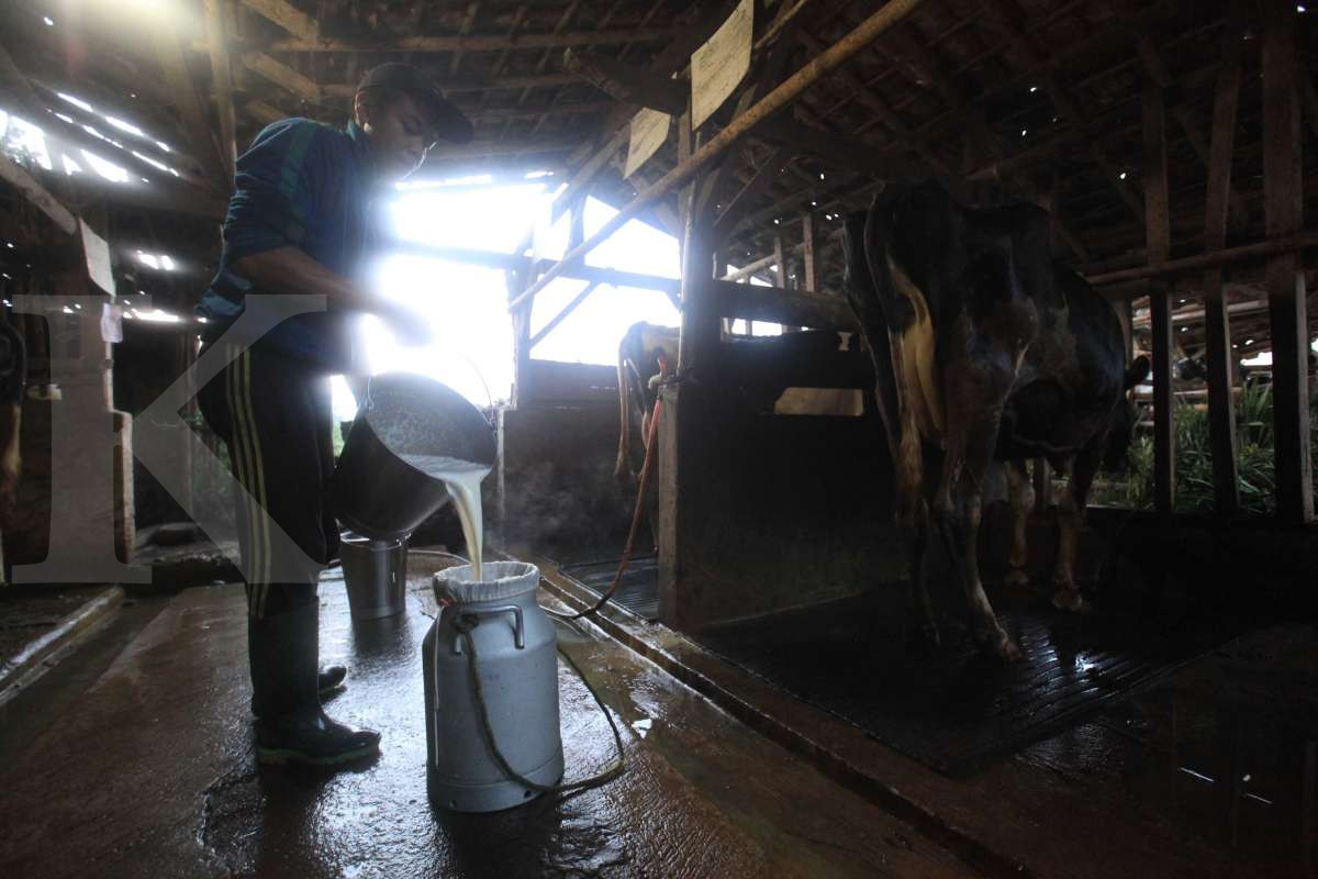 Produksi susu segar nasional stagnan